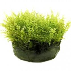 AQUAFLORA Plagiomnium affine In Vitro Cup