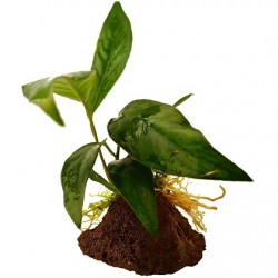 Anubias lanceolata σε πέτρα λάβας (ΦΠ)