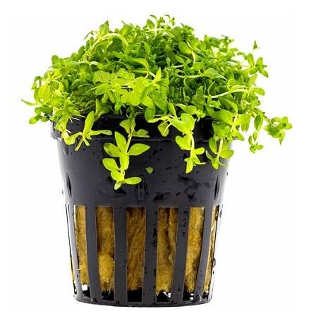 AQUAFLORA Micranthemum micranthemoides Pot