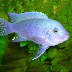 Pseudotropheus cobalt blue 8cm