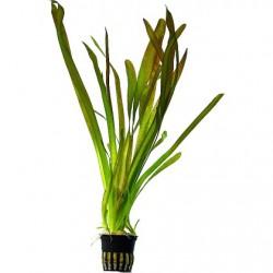 AQUAFLORA Vallisneria australis Gigantea Pot