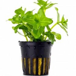 AQUAFLORA Bacopa caroliniana (amplexicaulis) Pot