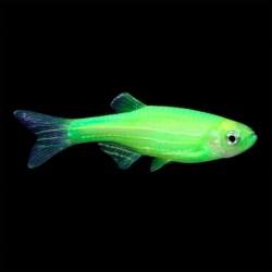 Zebra Danio Luminous Green 3-4cm