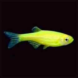 Zebra Danio Luminous Yellow 3-4cm