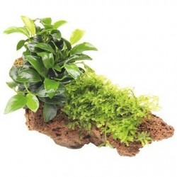 DENNERLE Anubias Bonsai with moss on stone