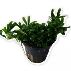 TROPICA Anubias sp. Mini Needle Leaf Limited Edition potted