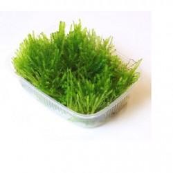 TROPICA Taxiphyllum alternans Taiwan moss portion