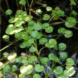 Heteranthera reniformis Floating