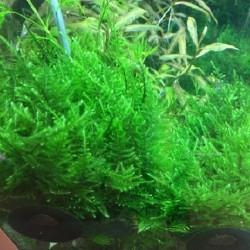 Taxiphyllum Taiwan moss σε πέτρα λάβας(ΦΠ)