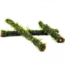 AQUAFLORA Vesicularia on bamboo stick S 15cm