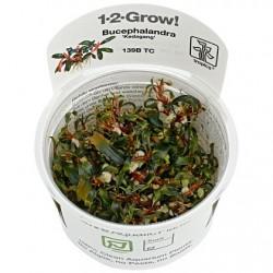Bucephalandra Kedagang 1-2-Grow!