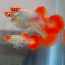 Guppy Male Red Cap 3cm