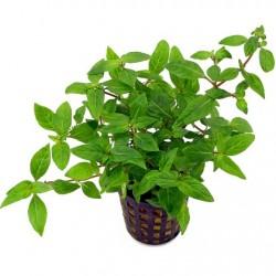 AQUAFLORA Rotala rotundifolia Hra In Vitro Cup