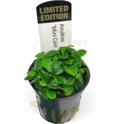 Anubias Mini Coin Limited Edition potted