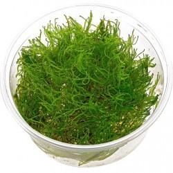 Taxiphyllum alternans Taiwan moss In-Vitro