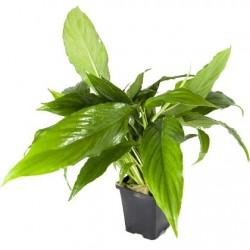 AQUAFLORA Spathiphyllum Wallisii XL