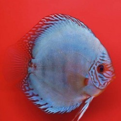 Stendker Δίσκος Cobalt 5cm