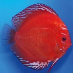 Stendker Δίσκος Marlboro Red 5cm