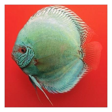 Stendker Δίσκος Solid Turquoise 5cm