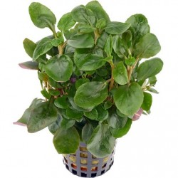 DENNERLE Lobelia cardinalis Mini Pot