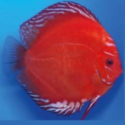 Stendker Δίσκος Marlboro Red 6.5cm