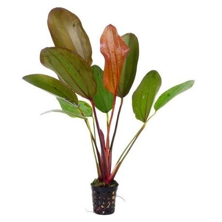 AQUAFLORA Echinodorus Red Chili Pot