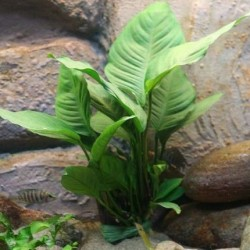Anubias heterophylla σε πέτρα λάβας(ΦΠ)