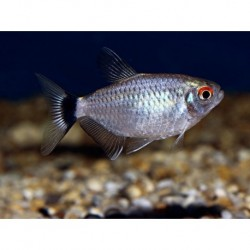 Red Eye Tetra (Moenkhausia Sanctaefilomenae) 2.5cm