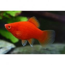Platy Red 3.5-4cm