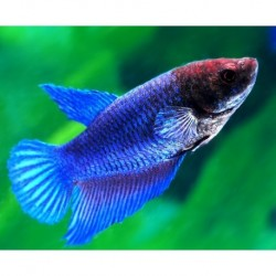Μονομάχος Female (Betta splendens)3-4cm