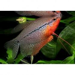 Gourami Pearl (Trichopodus Leerii) 3cm