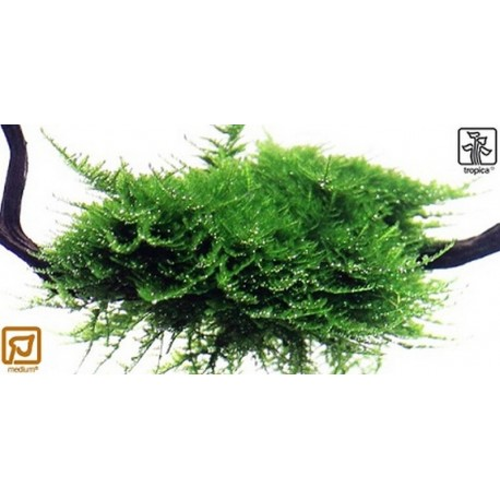 Vesicularia dubyana 'Christmas moss' on wood