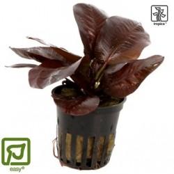 Echinodorus 'Reni' potted