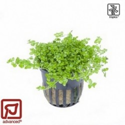 Hemianthus micranthemoides potted