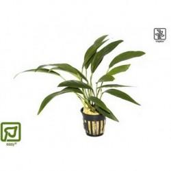 Anubias barteri var. angustifolia potted