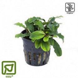 Bucephalandra 'Wavy Green' potted