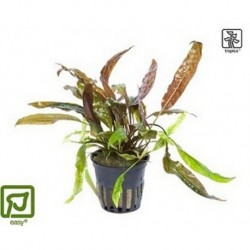 Cryptocoryne usteriana potted