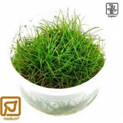 Eleocharis acicularis Mini 1-2-Grow!