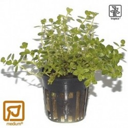 Rotala 'Green' potted