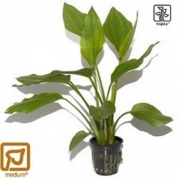 Echinodorus palaefolius potted