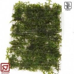 Riccardia chamedryfolia portion