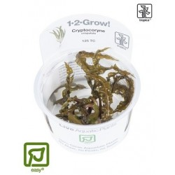 Cryptocoryne crispatula 1-2-Grow!
