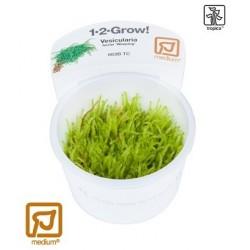 Vesicularia ferriei 'Weeping moss' 1-2-Grow!