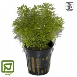 Limnophila sessiliflora potted
