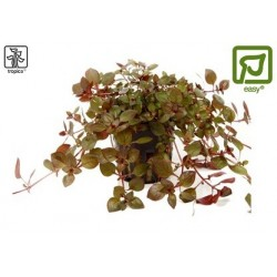 Ludwigia palustris potted