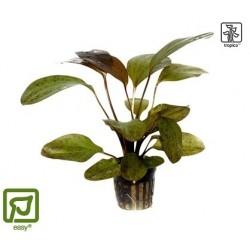 Echinodorus 'Ozelot' potted