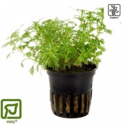 Hottonia palustris potted