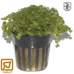 Bacopa australis potted