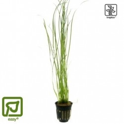 Vallisneria nana potted