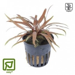 Cryptocoryne albida 'Brown' potted